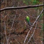 """Blossom headed parakeet"" by Neelakandan"