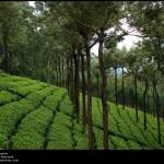 """Tea Plantation"" by Neelakandan"