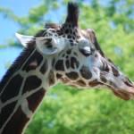 """""""Giraffe Closeup"""" by crazyabouthercats"""