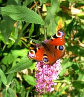 peacock-butterfly-buddleia