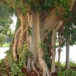 """Florida_Tree"" by jsrassociates"