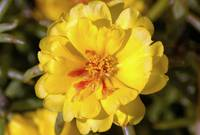 Yellow Moss Rose - Woodlands TX