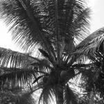 """""""Coconut Palm"""" by hopegibson"""