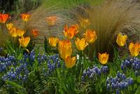 Glowing Tulips, Cool Grape Hyacinths, Waving Grass