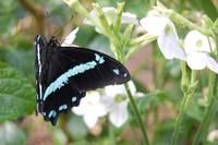 Turquoise/Black Butterfly -The Butterfly Place - W