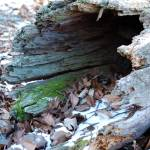 """Hollow Log"" by PhotograpybyTrista"