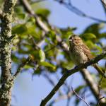 """""""Song Sparrow"""" by johnmclaird"""