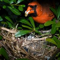 """Male Cardinal Feeding Babies"" by Tex Smock"