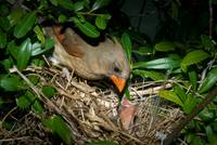 Female Cardinal Feeding Babies