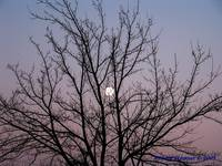 moon through the tree