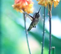 Flight of the humming bird