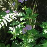 """""""Wild Geranium"""" by citybirder"""