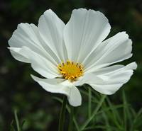 Floral Beauty 1 - Cosmos