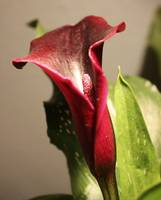 Floral-Dark Star 1- Zantedeschia