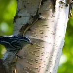 """Black and White Warbler on Birch"" by johnmclaird"