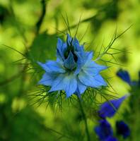 Floral-Love in a Mist 1