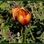 """""""flower  23 Tulip"""" by willifindunow"""