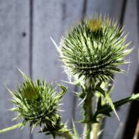 Two Thistles