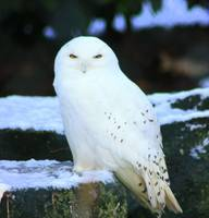 Bird-Snowy Owl 3 in Dublin Zoo