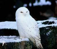 Bird- Snowy Owl 2 in Dublin Zoo