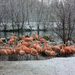 """Snowtime-Flamingos Gathering 1"" by willifindunow"