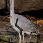 """0021 Heron Dublin Zoo"" by willifindunow"