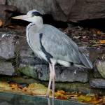 """00020 Heron In Dublin Zoo"" by willifindunow"