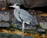 00020 Heron In Dublin Zoo