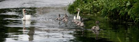 Swan-Family Day Out 2