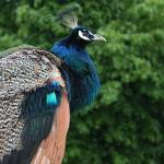 """PEACOCK 1 DUBLIN ZOO"" by willifindunow"