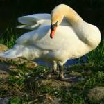 """""""swan 1"""" by willifindunow"""