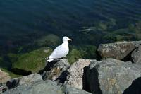 Bird 7-Sea Gull-Dublin Ireland