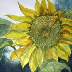 """Sunflower"" by sboyle"