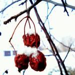 """""""Wild appleTree"""" by Russian_Dreamer"""