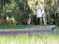 Heavy Weight Heron