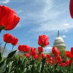 """US Capitol Building Spring photo"" by dcphoto"