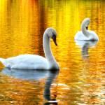 """""""Swans"""" by BlueRosesArt"""