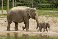 Mother Elephant Phoebe takes baby Beko for walk