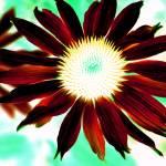"""Echinacia"" by SteveWalton"