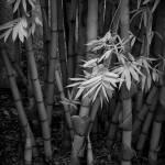"""zilker-botanical-bamboo-001"" by treyerice"
