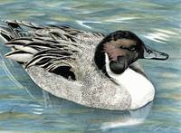 Pintail Elegance ~ Duck