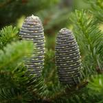 """Two fir cones"" by herzner"