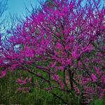 """Red Bud Tree"" by StantonTubb"