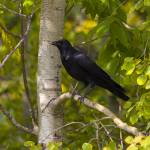 """""""Crow in Birch"""" by johnmclaird"""