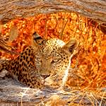 """Hiding Leopard"" by ccsg51"