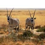 """""""Oryx"""" by ccsg51"""