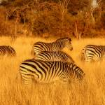 """Zebra Patterns"" by ccsg51"
