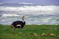 Ostrich on the Cape