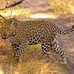 """Leopard Stare"" by ccsg51"