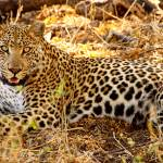 """Blending Leopard"" by ccsg51"